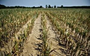 Agricultorii afectati de seceta ar putea primi despagubiri din partea guvernului